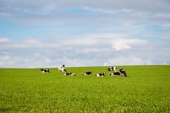 Mucche nel campo Fotografia Stock Libera da Diritti