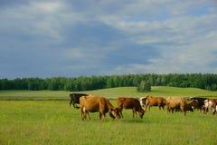 Mucche nel campo Fotografie Stock