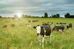 Mucche nel campo Immagini Stock