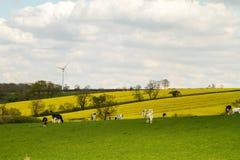 Mucche nel campo con il generatore eolico Immagine Stock