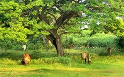 Mucche nel campo di erba del lato del paese immagini stock