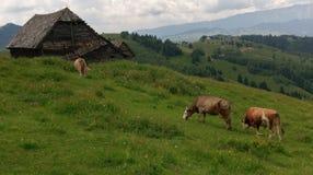 Mucche nel campo, Moieciu, crusca, Romania fotografie stock