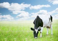 Mucche nel campo verde immagine stock
