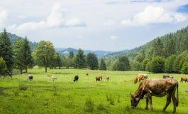 Mucche nel campo verde Fotografia Stock Libera da Diritti