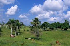 Mucche nel campo verde alla Repubblica dominicana Fotografia Stock Libera da Diritti