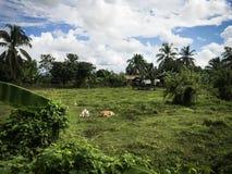 Mucche nel ferm immagine stock