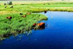 Mucche nel fiume Fotografie Stock Libere da Diritti