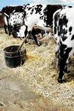 Mucche nel granaio fotografia stock libera da diritti