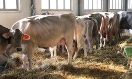 Mucche nel granaio dell'azienda agricola in zootecnia Immagini Stock