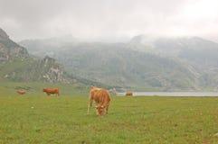 Mucche nel lago Fotografia Stock