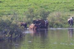Mucche nel lago Fotografia Stock Libera da Diritti
