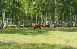 Mucche nel legno Fotografie Stock Libere da Diritti