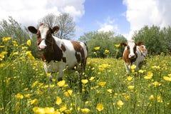 Mucche nel paesaggio olandese 4 Fotografia Stock Libera da Diritti