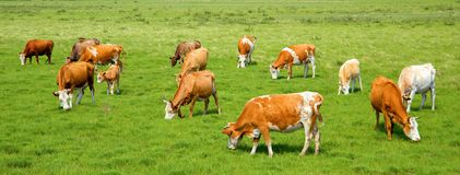 Mucche nel pascolo fotografia stock libera da diritti
