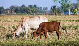 Mucche nel pascolo Fotografia Stock