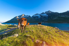 Mucche nel pascolo dell'alta montagna vicino ad un lago Fotografia Stock Libera da Diritti