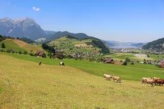 Mucche nel pascolo delle alpi Immagini Stock