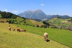 Mucche nel pascolo delle alpi Fotografia Stock Libera da Diritti