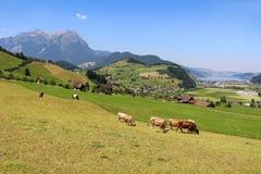 Mucche nel pascolo delle alpi Immagine Stock