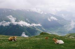 Mucche nel pascolo nelle montagne di Georgia Fotografia Stock Libera da Diritti