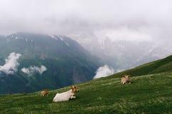 Mucche nel pascolo nelle montagne di Georgia Fotografie Stock Libere da Diritti