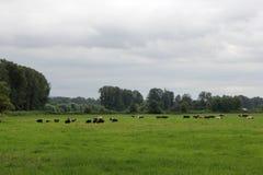 Mucche nel Pature Fotografia Stock Libera da Diritti