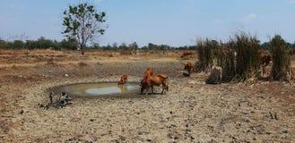 Mucche nel periodo di siccità fotografia stock libera da diritti