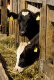 Mucche nel posto d'alimentazione Fotografia Stock