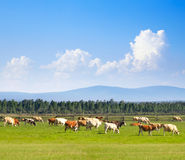 Mucche nel prato Fotografia Stock Libera da Diritti