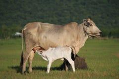 Mucche nel prato Fotografia Stock