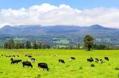 Mucche nel prato alpino Fotografia Stock Libera da Diritti