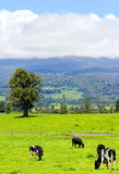 Mucche nel prato alpino Fotografie Stock Libere da Diritti