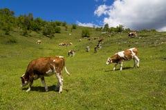 Mucche nel prato della montagna Fotografie Stock Libere da Diritti