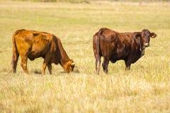 Mucche nel recinto chiuso Fotografia Stock Libera da Diritti