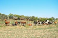 2 mucche nel recinto per bestiame del pascolo Fotografia Stock