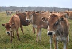 Mucche nel recinto per bestiame del pascolo Immagine Stock Libera da Diritti