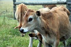 Mucche nel recinto per bestiame del pascolo Fotografie Stock