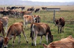 Mucche nel recinto per bestiame del pascolo Fotografia Stock