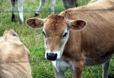Mucche nel recinto per bestiame del pascolo Immagini Stock Libere da Diritti