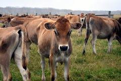 Mucche nel recinto per bestiame del pascolo Immagini Stock