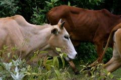 Mucche nel selvaggio Immagini Stock Libere da Diritti