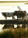 Mucche nel sole di sera fotografia stock libera da diritti