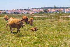 Mucche nel villaggio di Almograve Immagini Stock Libere da Diritti
