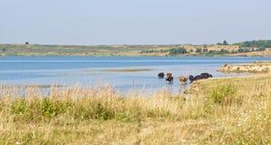 Mucche nell'acqua Fotografia Stock