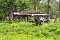 Mucche nell'azienda agricola fotografia stock
