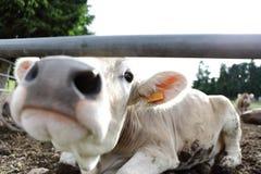 Mucche nell'azienda agricola del campo fotografia stock