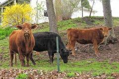 Mucche nell'iarda Immagine Stock