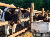 Mucche nell'iarda che mangiano e che riposano Fotografie Stock