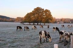 Mucche nell'inverno Immagini Stock Libere da Diritti