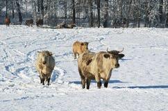 Mucche nell'inverno fotografie stock libere da diritti